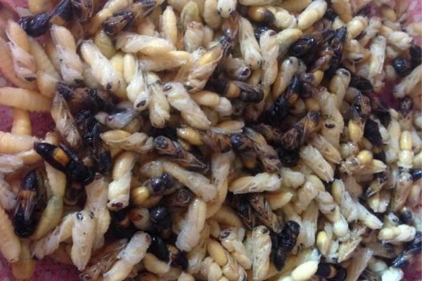 Giá tiền triệu vẫn lên rừng bê cả tổ ong vạn con về xào ăn, ngâm rượu bồi bổ-1