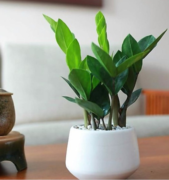 4 loại cây phong thủy nghe tên đã thấy giàu, cuối năm phải đặt một chậu trong nhà để hút thêm tài lộc-1