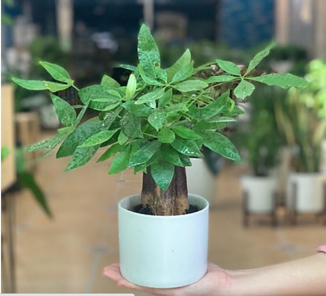 4 loại cây phong thủy nghe tên đã thấy giàu, cuối năm phải đặt một chậu trong nhà để hút thêm tài lộc-2