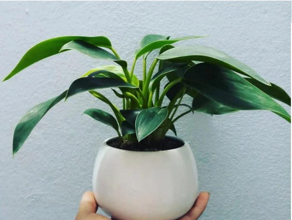 4 loại cây phong thủy nghe tên đã thấy giàu, cuối năm phải đặt một chậu trong nhà để hút thêm tài lộc-3