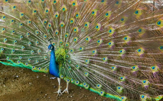 Thuần hóa chim công bằng nước muối, bán tới 80 triệu đồng 1 trống 3 mái-2