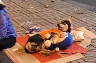 Chuyện đời tréo ngoe khi chú chó theo chủ đi mưu sinh nhưng lại nằm ôm gấu bông, trùm mũ ngủ rất 'an nhàn' bất ngờ trở thành tâm điểm bàn tán trên mạng xã hội