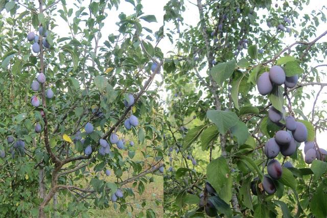 Trang trại trăm loại cây trái trĩu trịt quả của cặp vợ chồng Pháp - Việt-5