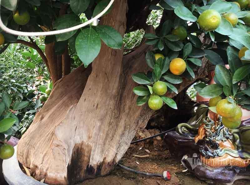 Thân cây xác khô đẻ trăm quả vàng, đại gia rút tiền mua chơi Tết sớm-2