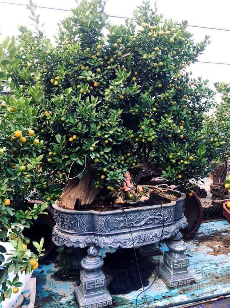 Thân cây xác khô đẻ trăm quả vàng, đại gia rút tiền mua chơi Tết sớm-5