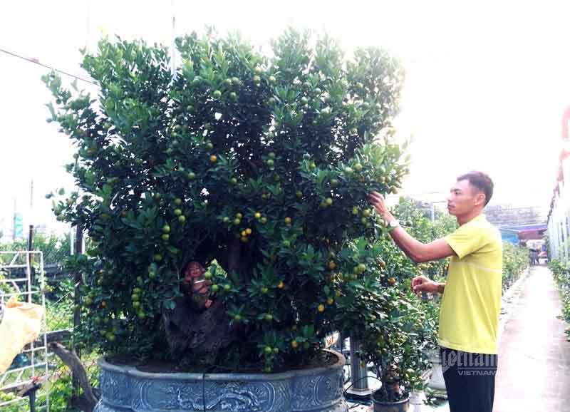 Thân cây xác khô đẻ trăm quả vàng, đại gia rút tiền mua chơi Tết sớm-6