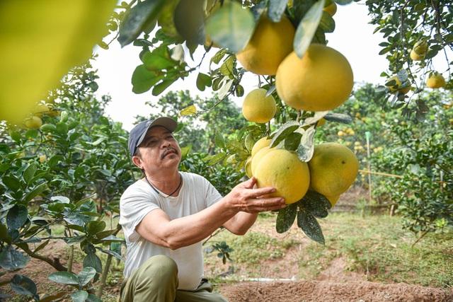 Mục sở thị vườn bưởi Diễn được mùa, kiếm gần 1 tỷ đồng mỗi năm-3