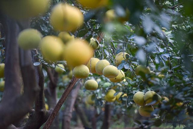 Mục sở thị vườn bưởi Diễn được mùa, kiếm gần 1 tỷ đồng mỗi năm-11