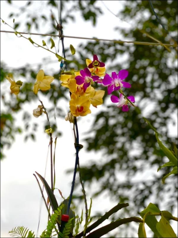 NSƯT Trịnh Kim Chi phụ chồng đại gia làm vườn, hé lộ vườn lan đắt giá trong biệt thự rộng 200m2-4