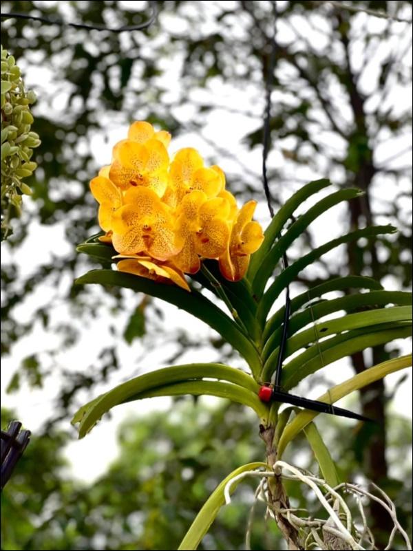 NSƯT Trịnh Kim Chi phụ chồng đại gia làm vườn, hé lộ vườn lan đắt giá trong biệt thự rộng 200m2-5
