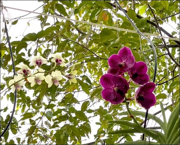 NSƯT Trịnh Kim Chi phụ chồng đại gia làm vườn, hé lộ vườn lan đắt giá trong biệt thự rộng 200m2-6