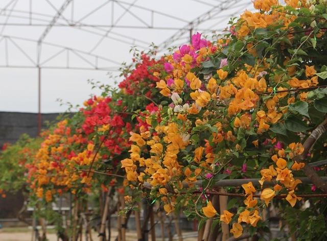 Chơi Tết sang: Đại gia đổi cả chung cư tiền tỷ lấy cây hoa giấy 5 màu-2