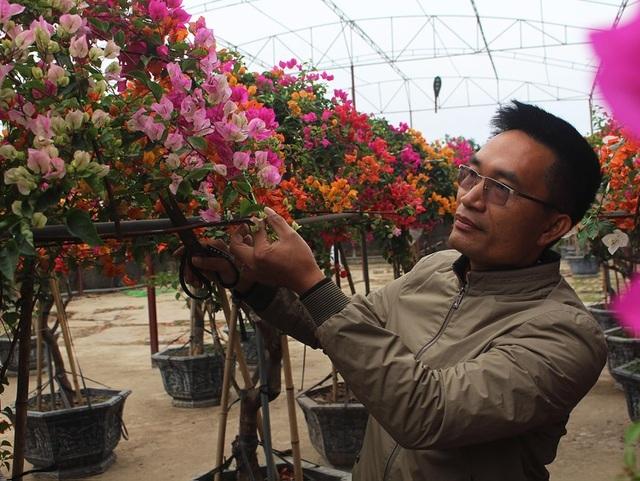 Chơi Tết sang: Đại gia đổi cả chung cư tiền tỷ lấy cây hoa giấy 5 màu-3