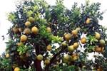 Đeo lúc lỉu 300 quả trên cây: Bưởi cảnh khổng lồ hét giá 100 triệu đồng-6