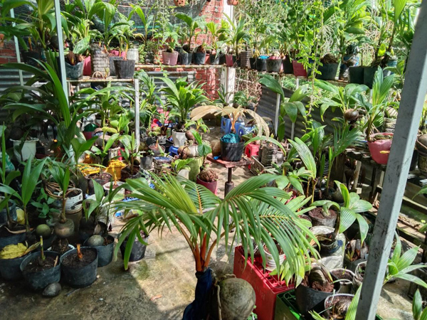 Loại cây được ưa chuộng dịp Tết, khách phải đặt mua trước cả nửa năm-1