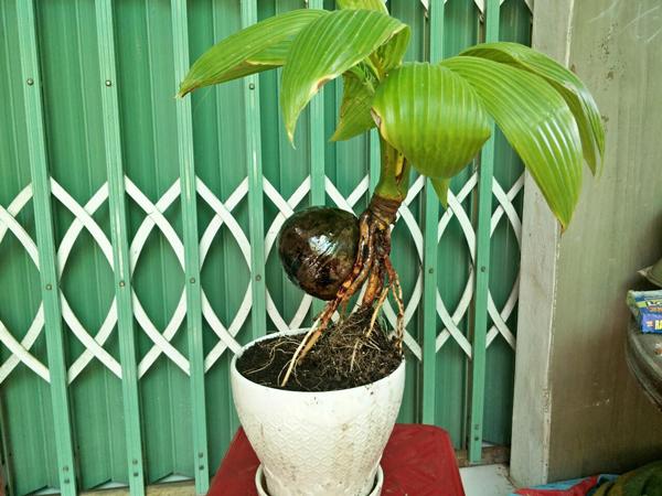 Loại cây được ưa chuộng dịp Tết, khách phải đặt mua trước cả nửa năm-4
