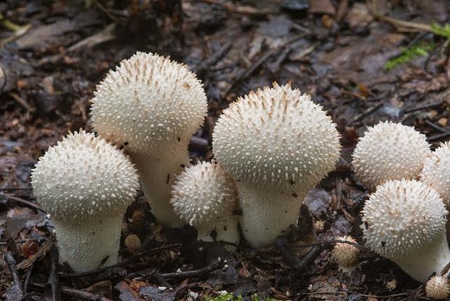 Nhìn xa tưởng nấm độc ai ngờ là đặc sản ngon hiếm có, giá tiền triệu-4