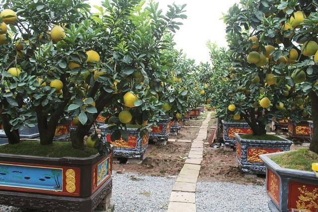 Đeo lúc lỉu 300 quả trên cây: Bưởi cảnh khổng lồ hét giá 100 triệu đồng-2