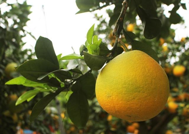 Đeo lúc lỉu 300 quả trên cây: Bưởi cảnh khổng lồ hét giá 100 triệu đồng-4