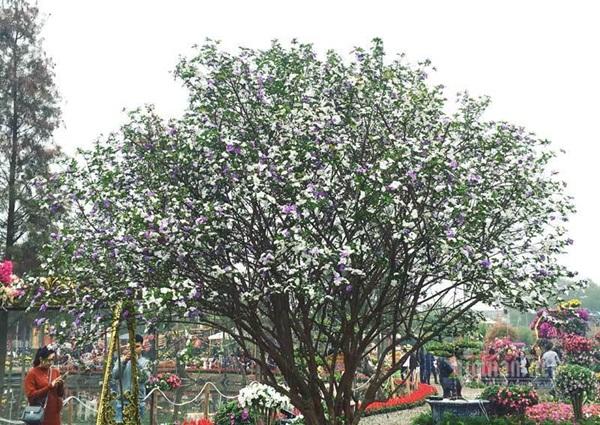 Cây nhài cổ thụ hoa biến đổi màu, đại gia xếp hàng rước về chơi Tết-1