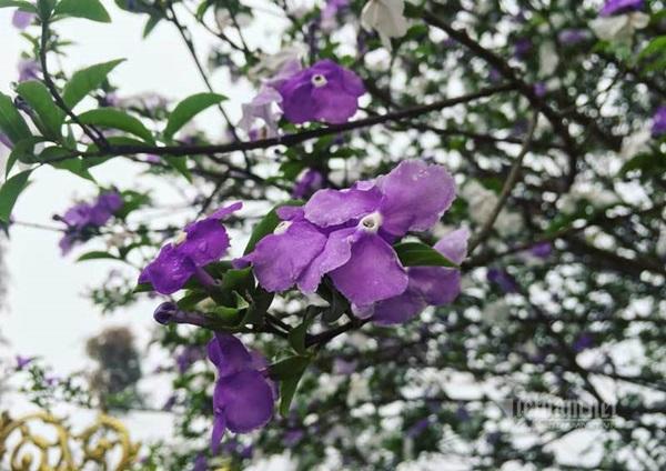 Cây nhài cổ thụ hoa biến đổi màu, đại gia xếp hàng rước về chơi Tết-2