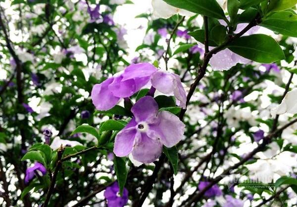 Cây nhài cổ thụ hoa biến đổi màu, đại gia xếp hàng rước về chơi Tết-3