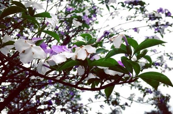 Cây nhài cổ thụ hoa biến đổi màu, đại gia xếp hàng rước về chơi Tết-4