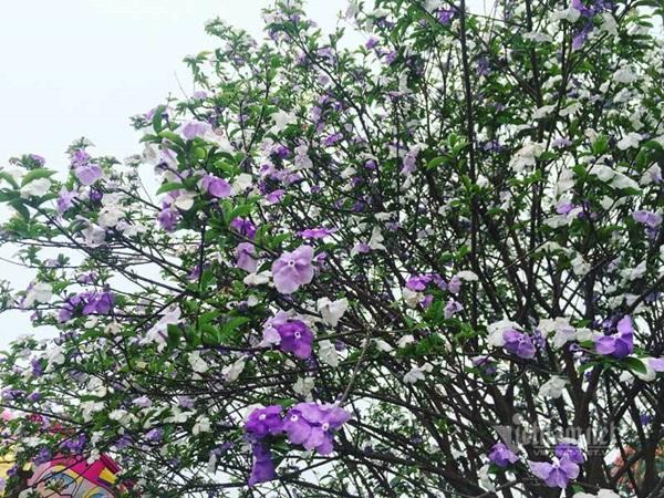 Cây nhài cổ thụ hoa biến đổi màu, đại gia xếp hàng rước về chơi Tết-5
