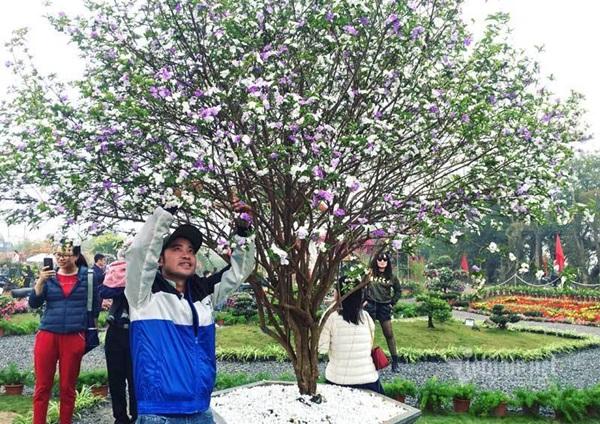 Cây nhài cổ thụ hoa biến đổi màu, đại gia xếp hàng rước về chơi Tết-6