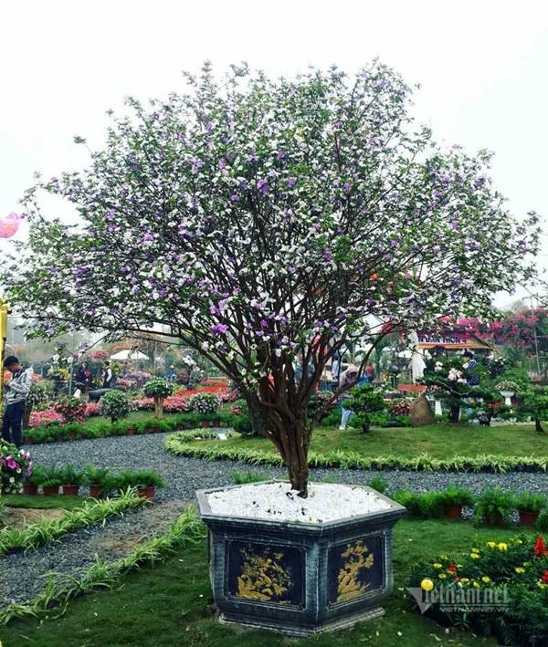 Cây nhài cổ thụ hoa biến đổi màu, đại gia xếp hàng rước về chơi Tết-7