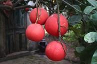 'Cụ' bưởi đỏ 60 tuổi ở Hà Nội được đeo mã số, mỗi năm ra 400 quả trĩu trịt