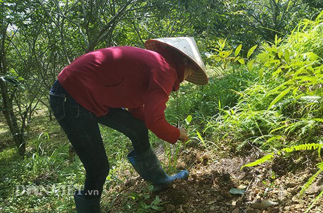 Thứ mọc hoang đến mùa rụng đầy gốc, dân nhặt về bán đắt hàng như tôm tươi-5