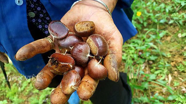 Thứ mọc hoang đến mùa rụng đầy gốc, dân nhặt về bán đắt hàng như tôm tươi-9