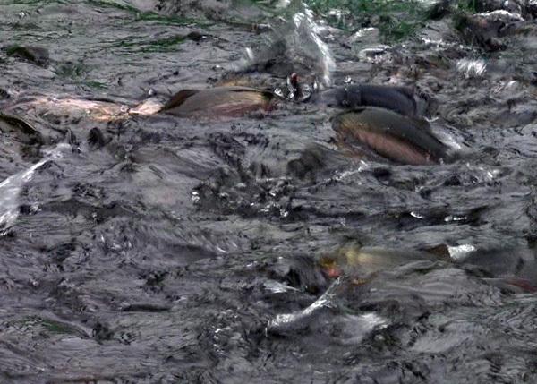 Cá hồi Sa Pa lại siêu rẻ, 1 năm 2 đợt giảm sốc, dân nuôi lỗ nặng-3