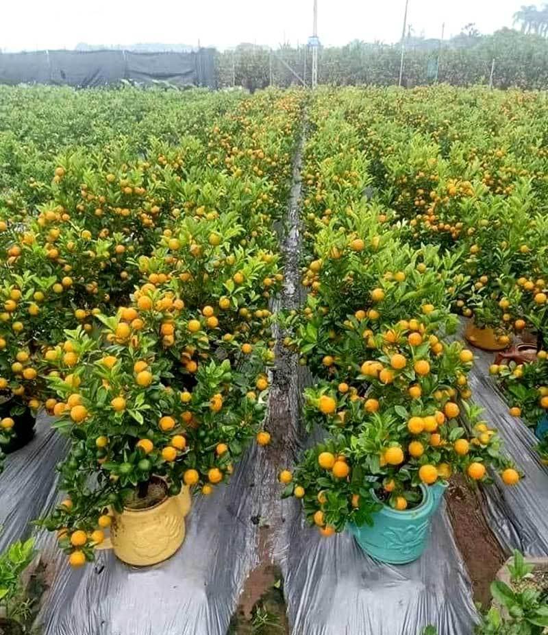 Ba ngày dán mắt vào smartphone, chị gái công sở bán sạch vườn quất 400 cây-3