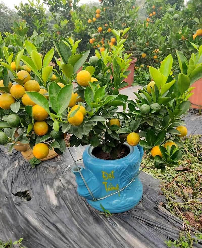 Ba ngày dán mắt vào smartphone, chị gái công sở bán sạch vườn quất 400 cây-1