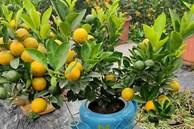 Ba ngày dán mắt vào smartphone, chị gái công sở bán sạch vườn quất 400 cây