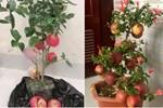Tưởng giống táo lùn siêu trái, nhiều người mua phải táo gắn lên cây dành dành-10