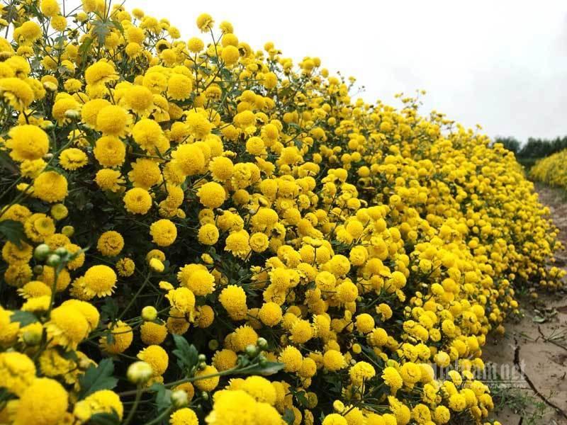 Suốt cả thế kỷ chỉ trồng một loại hoa, cả làng đều đặn thu tiền tỷ-2