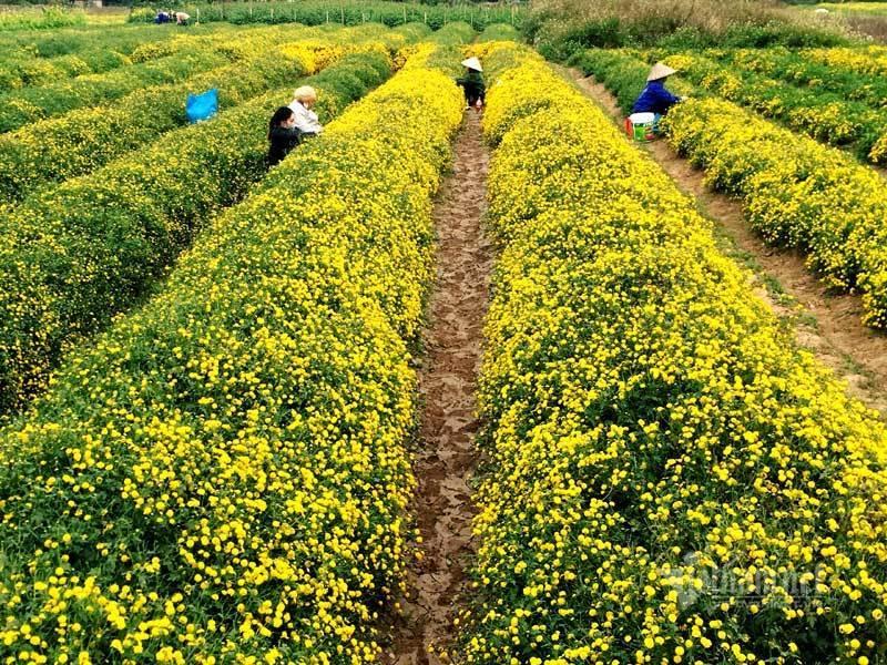 Suốt cả thế kỷ chỉ trồng một loại hoa, cả làng đều đặn thu tiền tỷ-3