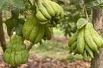Người phụ nữ tuổi 40 thắng lớn 70 triệu nhờ cận Tết buôn được lô cây phật thủ bonsai giá mềm-10
