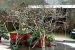 Đào rừng tê liệt: Dân buôn nằm im, nông dân bế tắc lo mất Tết-4