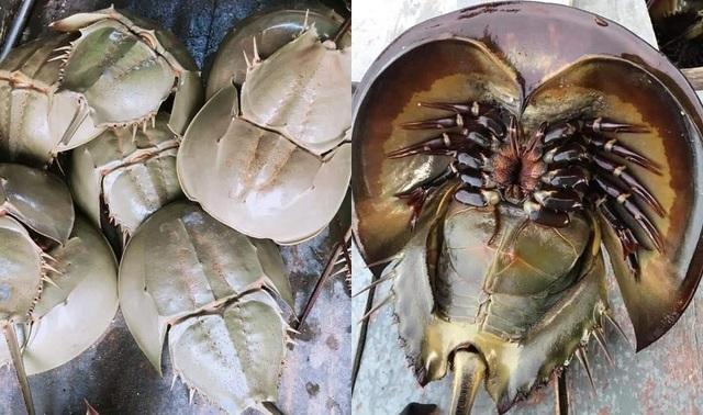 Bọ biển khổng lồ 1 triệu đồng/ đôi, đặc sản lạ hút khách sành ăn-1