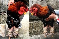 Trả 20 triệu đồng vẫn không mua nổi cặp chân gà Đông Tảo ăn Tết