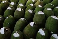 Hàng nghìn quả mít bị cắt đầu, bôi chất trắng trước khi mang bán, mục đích là gì?
