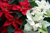 Tết Tân Sửu 2021, đặt ngay những loài hoa này vào nhà mang lại may mắn, tài lộc cho gia chủ