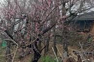 Đào rừng tê liệt: Dân buôn nằm im, nông dân bế tắc lo mất Tết