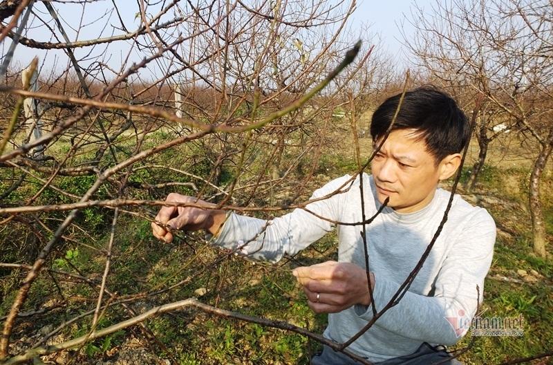 Cấm chặt đào rừng, thương lái đổ xô đặt cọc đào phai xứ Thanh-1