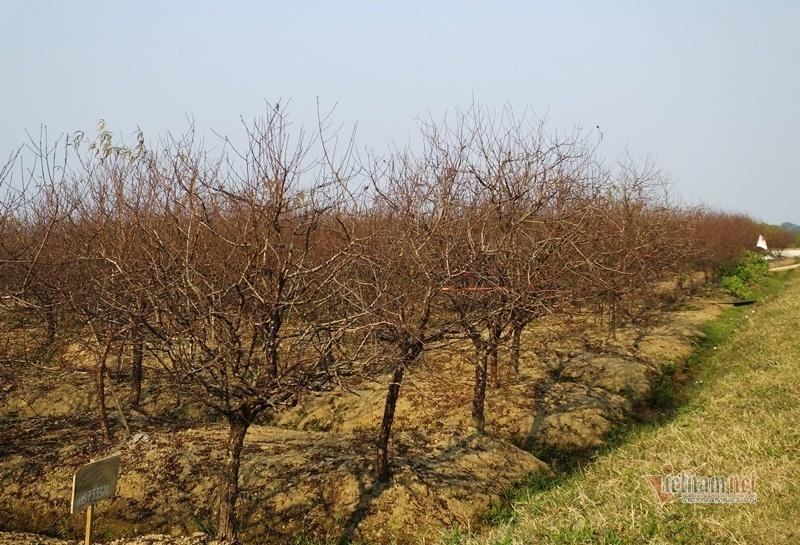 Cấm chặt đào rừng, thương lái đổ xô đặt cọc đào phai xứ Thanh-2