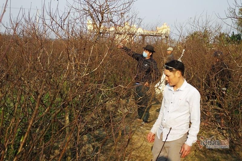 Cấm chặt đào rừng, thương lái đổ xô đặt cọc đào phai xứ Thanh-11